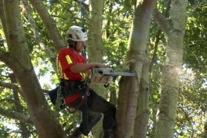Tree specialist thinning and pruning trees Wellington New Zealand