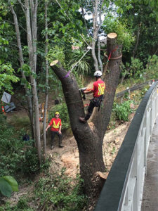 Treetech Tree removal specialists cutting a tree near the road Christchurch Wellington New Zealand